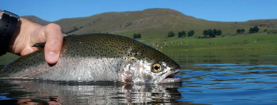 A Rainbow Trout In Lake Ringstead